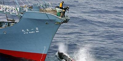 chasse-baleine-Japona