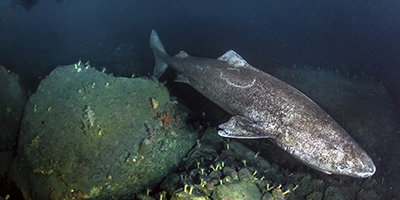 requin-groenlanda