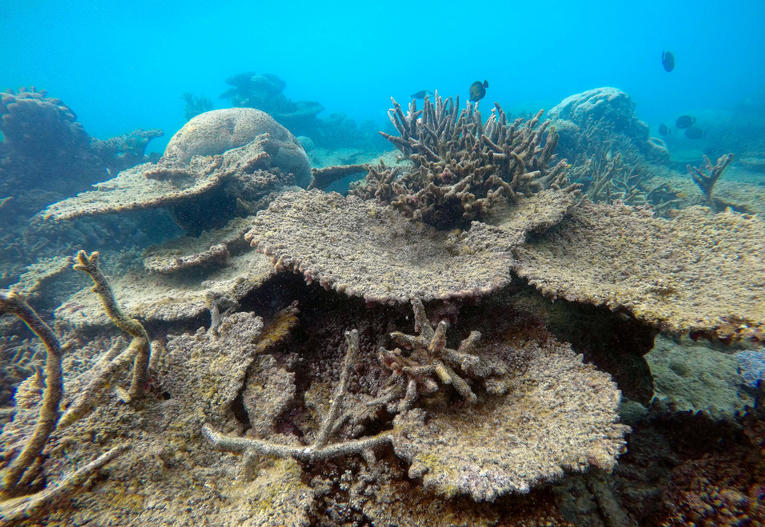Supplied image of dead table corals killed by bleaching on Zenith Reef, on the northern Great Barrier Reef in Australia, made available to Reuters on November 29, 2016. Greg Torda/Courtesy of ARC Centre of Excellence for Coral Reef Studies/Handout via REUTERS    ATTENTION EDITORS - THIS IMAGE WAS PROVIDED BY A THIRD PARTY. EDITORIAL USE ONLY. NO RESALES. NO ARCHIVE. THIS PICTURE WAS PROCESSED BY REUTERS TO ENHANCE QUALITY. AN UNPROCESSED VERSION WILL BE PROVIDED SEPARATELY. - RTSTR6I